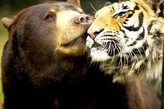 Tiger_BearFriends