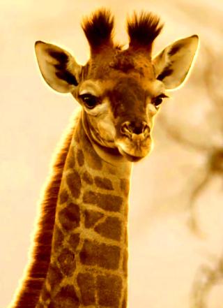 Cute-Giraffe