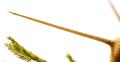 Acacia-Thorns