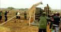 Truck-Loading-Giraffe