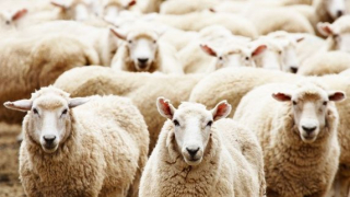 People-Acting-Like-Sheep